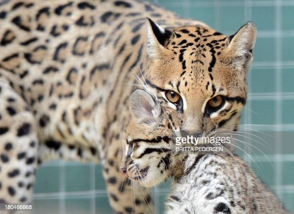 An ocelot mother takes her baby at the Zoologischer Garten zoo in Berlin on September 13 2013 The baby ocelot was born at the zoo on July 17 2013 AFP...