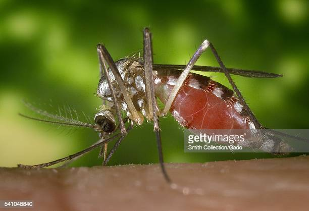 An Ochlerotatus triseriatus mosquito feeding atop a human hand 2002 Also known as Aedes triseriatus and commonly known as the 'treehole mosquito'...