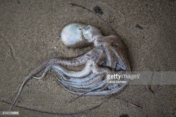 An octopus lies dead on an oilcovered beach after an oil spill near Refugio State Beach on May 20 2015 north of Goleta California About 21000 gallons...