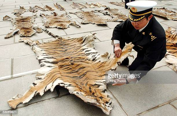 An officer of Lhasa Custom inspects a piece of tiger skin on June 14 2005 in Lhasa of Tibet Autonomous Region China The Lhasa Custom is preparing to...