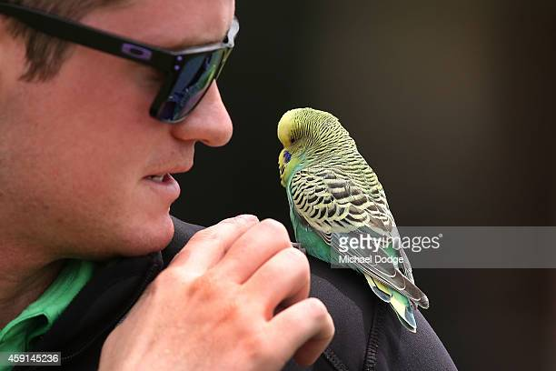 An official looks after a Budgie that flew in near the practice green ahead of the 2014 Australian Masters at The Metropolitan Golf Course on...