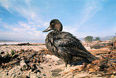 An oil covered duck barely able to move because of a thick coating of oil received when he landed in the water off Carpinteria State Beach about 70...