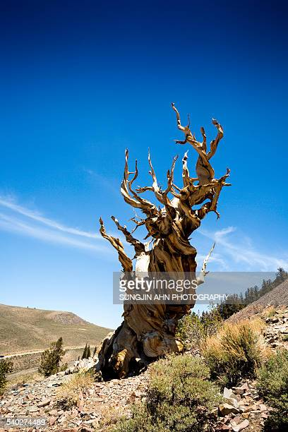 An old bristlecone pine.