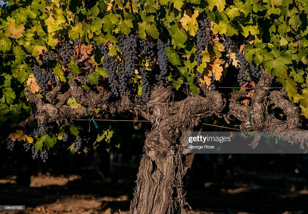 An old cabernet sauvignon vine grows under the warm sun on September 15, 2014, near Healdsburg, California. Warm sunny skies in Sonoma County Wine Country have made for excellent grape growing conditions. The 2014 grape harvest is coming early and average in terms of tonnage.