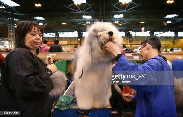 An Old English Sheepdog is groomed during the final day at Crufts Dog Show on March 10 2013 in Birmingham England During this year's fourday...