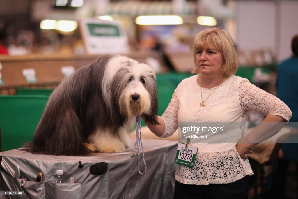 An Old English Sheepdog sits on a grooming table next to it's owner on day three of Crufts at the Birmingham NEC Arena on March 10, 2012 in Birmingham, England. During the annual four-day competition nearly 22,000 dogs and their owners will compete for a variety of accolades, ultimately seeking the coveted title of 'Best In Show'.