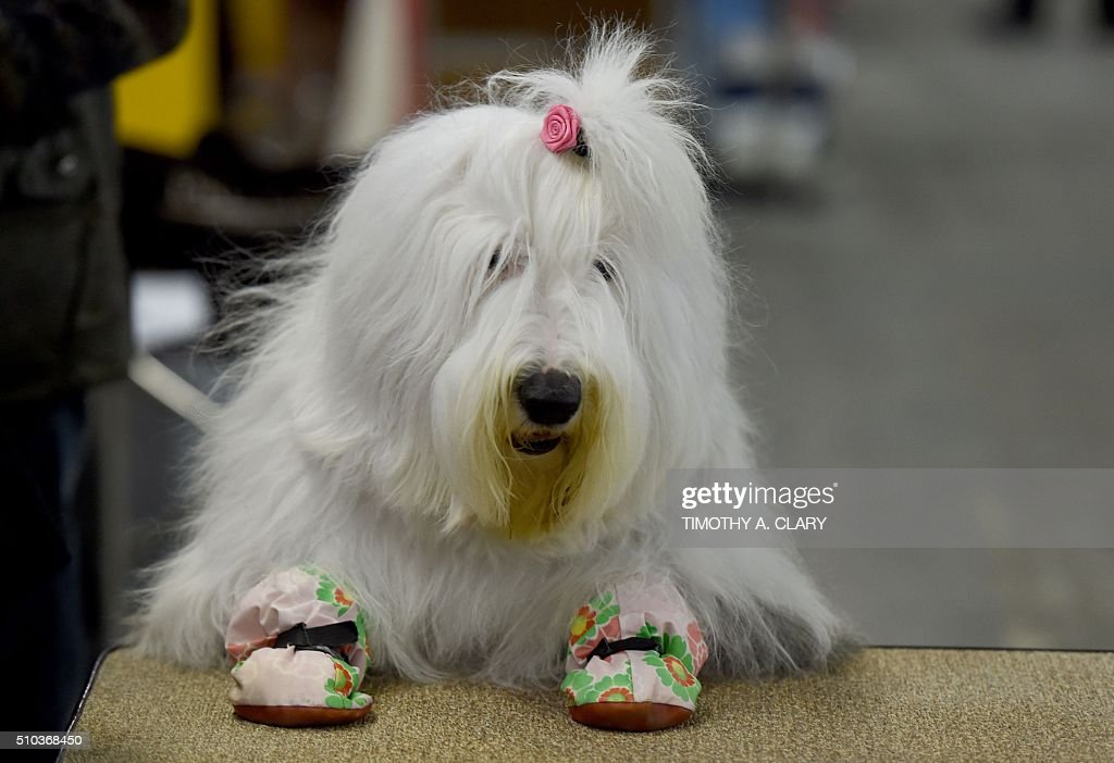 An Old English Sheepdog waits in the grooming area February 15 2016 in New York during the first day of competition at the Westminster Kennel Club...