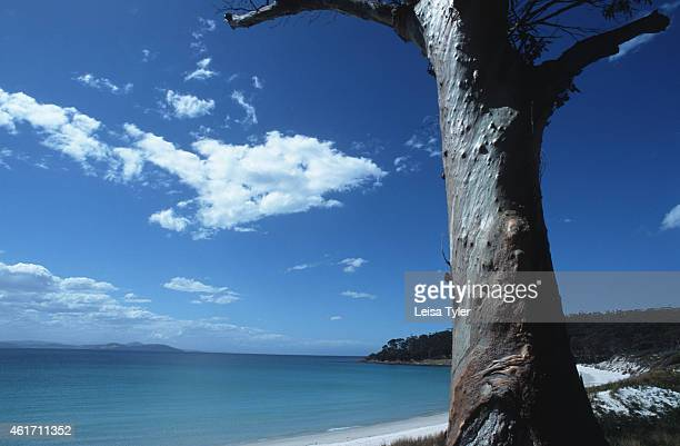 An old eucalyptus tree looks over an empty white beach on Maria Island a National Park on Tasmania's southeast coast First occupied by aboriginal...