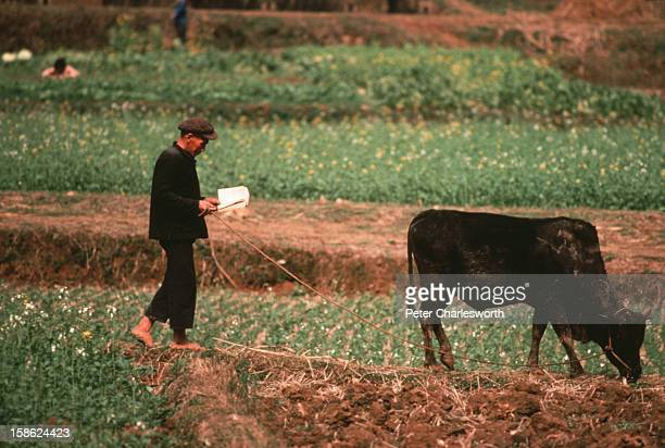 An old man reads a book while grazing his cow along fields near Guillin Not so long ago books were being burnt by RedGuards during the Cultural...