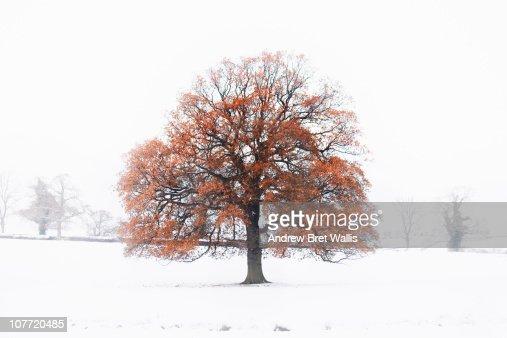 an old oak tree in a Winter snow landscape : Stock Photo