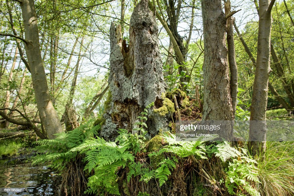 An old trunk of a tree stands at the creek 'Loecknitz' in Brandenburg state on May 19, 2017 near Erkner, Germany. Brandenburg, with its multitude of waterways and lakes that are rich in plant and wildlife, is a popular destination for canoeing and other water sports enthusiasts.