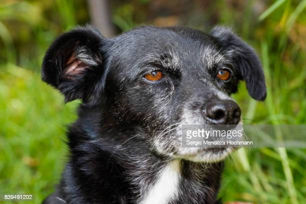 An older, black, mixed-breed dog in a dog shelter in Mexico City