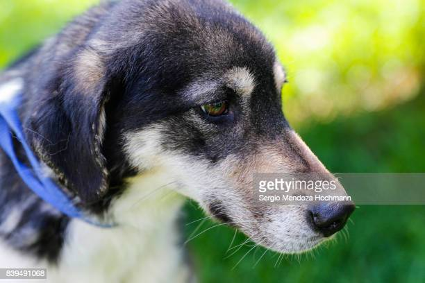 An older mixed-breed black, brown and white dog in a dog shelter in Mexico City