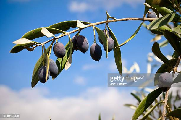 Olive branch in the Palestinian village of Zababdeh, West Bank