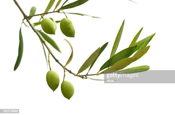 An olive branch with leaves and olives on a white background