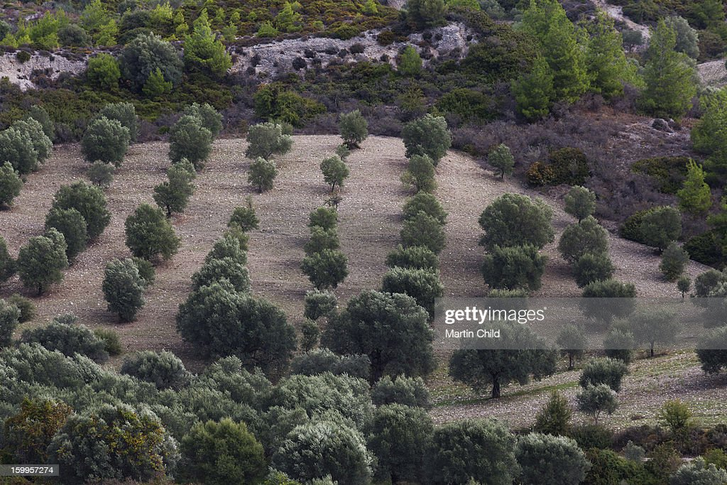 an olive grove in central Rhodes : Stock Photo