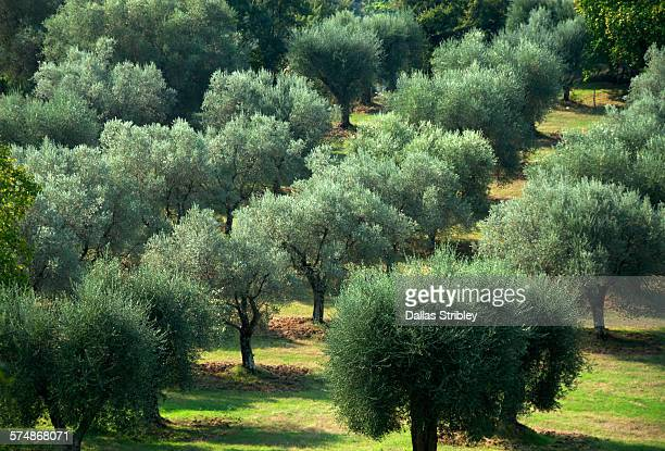An olive grove in the Tuscan hills near Manciano