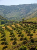 An olive grove on the landscape close to Plakias is seen on May 02 2010 in Rethymno Greece