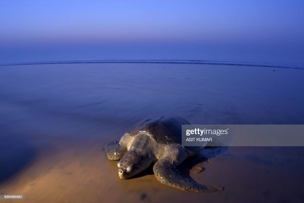TOPSHOT - An Olive Ridley Turtle (Lepidochelys olivacea) arrives to lay her eggs on the sand at Rushikulya Beach, some 140 kilometres (88 miles) south-west of Bhubaneswar, early February 16, 2017. Thousands of Olive Ridley sea turtles started to come ashore in the last few days from the Bay of Bengal to lay their eggs on the beach, which is one of the three mass nesting sites in the Indian coastal state of Orissa. /