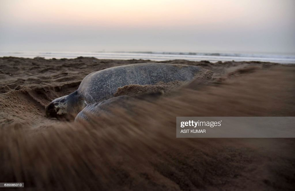 An Olive Ridley Turtle (Lepidochelys olivacea) digs a hollow in the sand as she prepares to lay her eggs at Rushikulya Beach, some 140 kilometres (88 miles) south-west of Bhubaneswar, early February 16, 2017. Thousands of Olive Ridley sea turtles started to come ashore in the last few days from the Bay of Bengal to lay their eggs on the beach, which is one of the three mass nesting sites in the Indian coastal state of Orissa. / AFP / ASIT