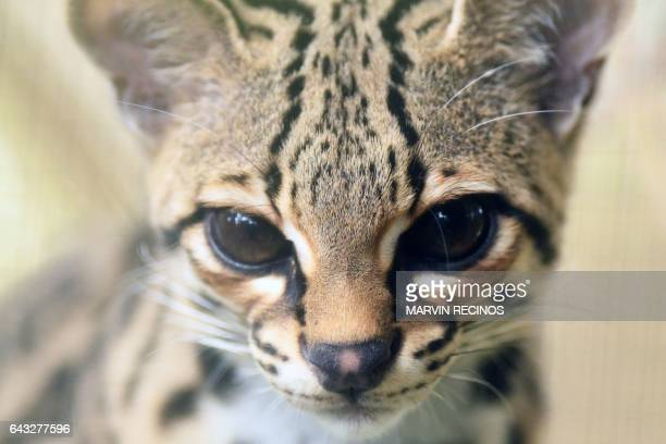 An oncilla is pictured at 'El Tronador' Wildlife Rescue Center in Berlin 107 kilometres southwest of San Salvador on February 20 2017 Undangered...