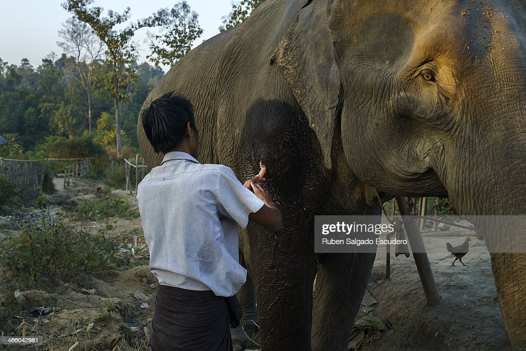 An 'oozie' or elephant handler cleans a wound on his elephant's shoulder in front of his house on January 28, 2014 in Maing Hint Sal elephant logging camp, Myanmar. This government-owned camp holding 62 elephants and about 330 local villagers is one of many which are under threat due to upcoming changes in laws that reflect the steady depletion of forests in the country. The local government blames illegal loggers for this, while others are under the opinion that the government carelessly sold land for construction and development purposes to the wrong people. Either way, elephant logging which has been a source of income for many in this country for generations could have its days numbered which would affect many local people's livelihoods.