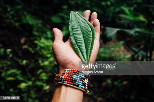 An open hand holds a large leaf found in a cloud forest : Stock Photo