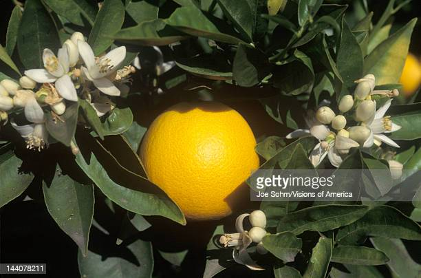 An orange and flowers hang on an orange tree in CA USA