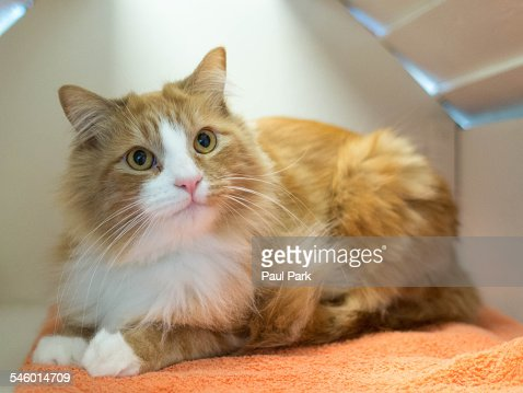An orange fluffy cat lying down, looking up