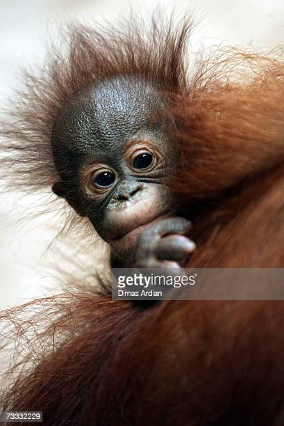 An Orangutan and infant are seen at Ragunan Zoo's 'Schmutzer Primate Center' on February 15 2007 in Jakarta Indonesia A new report from the UN...