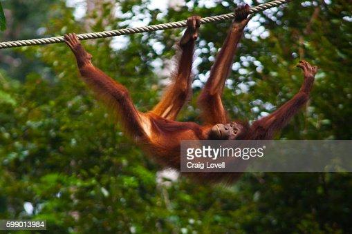 An ORANGUTAN (Pongo pygmaeus) at the Sepilok Orangutan Rehabilitation Center in the Kabili Sepilok Forest near Sandakan - MALAYSIA, BORNEO