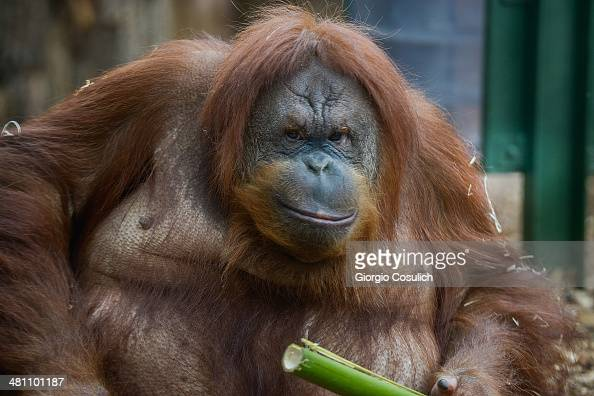 An Orangutan eats a bamboo cane in the new area dedicated to orangutans at the Bioparco zoo on March 28 2014 in Rome Italy The new area just opened...