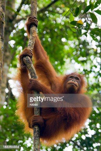 An orangutan in Borneo in Malaysia