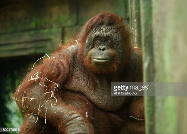 An orangutan looks on in its enclosure at the Beauval Zoo in SaintAignansurCher central France on June 23 2017 / AFP PHOTO / GUILLAUME SOUVANT