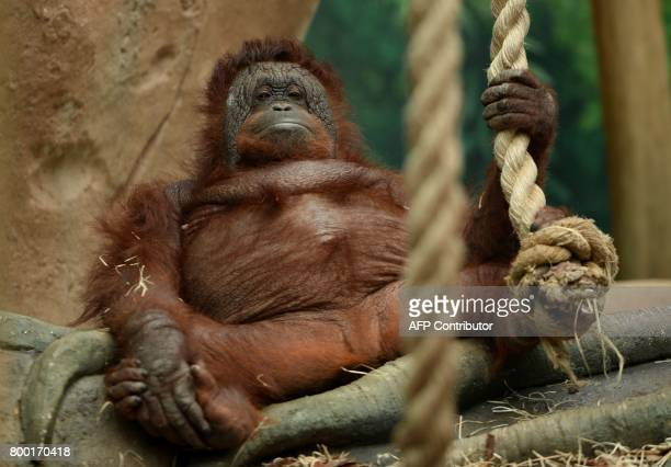 An orangutan rests in its enclosure at the Beauval Zoo in SaintAignansurCher central France on June 23 2017 / AFP PHOTO / GUILLAUME SOUVANT