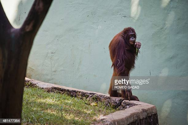 An orangutan stands in an enclosure of Ragunan zoo in Jakarta on July 21 2015 as Indonesians enjoy the last day of the long holiday to celebrate Eid...