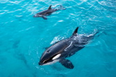 An orca calf swims with its mother at The Marineland Animal exhibition Park on December 12 2013 in Antibes France
