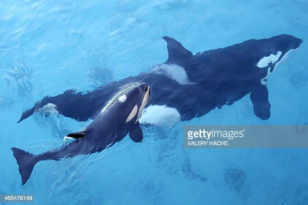 An orca swims with its calf at the Marineland animal exhibition park in the French Riviera city of Antibes southeastern France on December 12 2013...