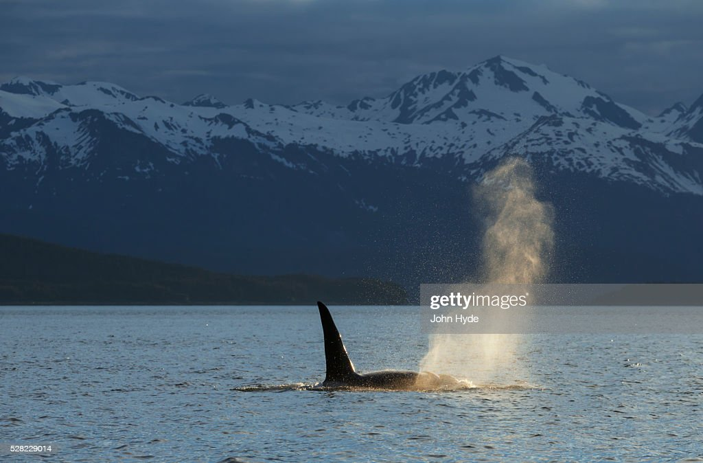 An Orca Whale (Orcinus orca), a male indicated by the height of its dorsal fin, surfaces in Lynn Canal on a summer evening, Inside Passage; Alaska, United States of America