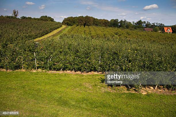 An orchard of apples trees awaiting harvesting stand at the Sady Trzebnica z oo apple farm in Trzebnica Poland on Monday Aug 25 2014 Polish corporate...