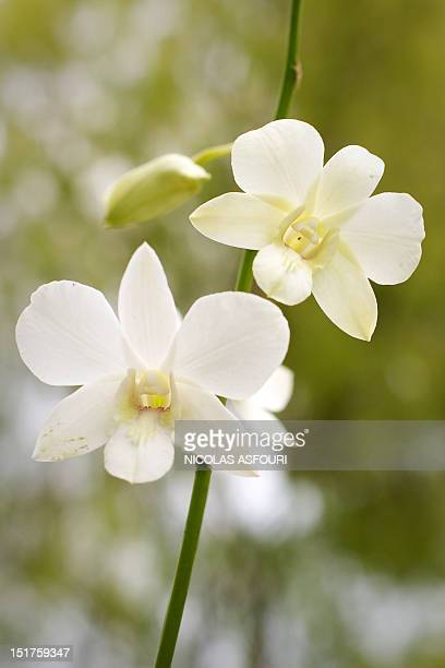 An orchid hybrid named after Britain's Prince Williams mother Diana the Princess of Wales shortly before her death is pictured at the Orchid Garden...