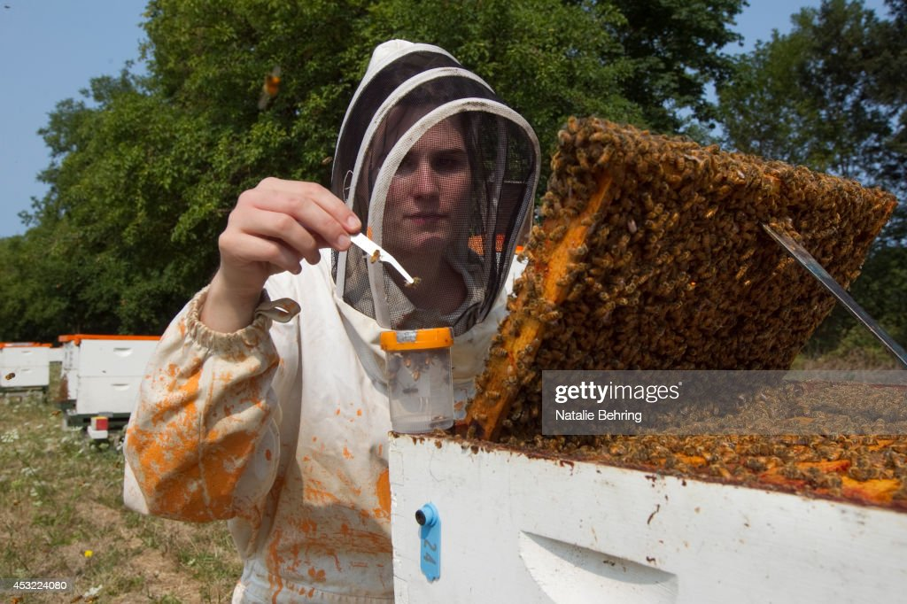 An Oregon State University bee researcher collects 'nurse bees' in a hive outside on August 5 2014 in Corvallis Oregon AAfter taking a sample the...