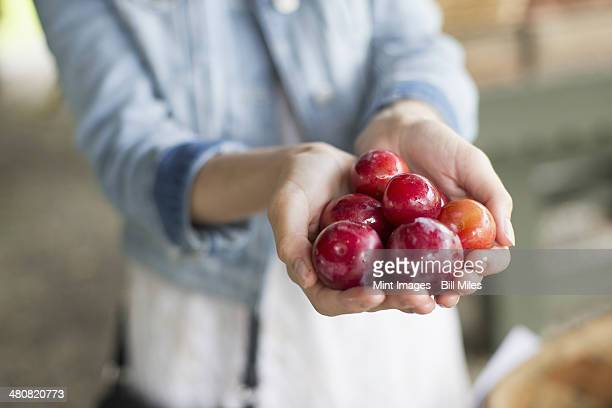 An organic fruit and vegetable farm. A woman holding a handful of fresh plums.