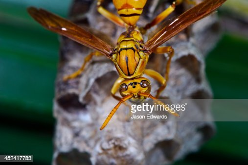 An Oriental Paper Wasp tending the brood cells of its nest in a palm. : Stock Photo