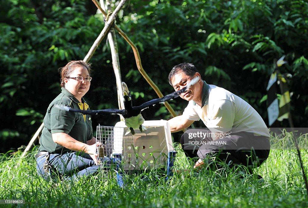 An Oriental Pied Hornbill flies after its release by Minerva BongcoNuqui avian curator for Jurong Bird Park and Wong Tuan Wah director of...