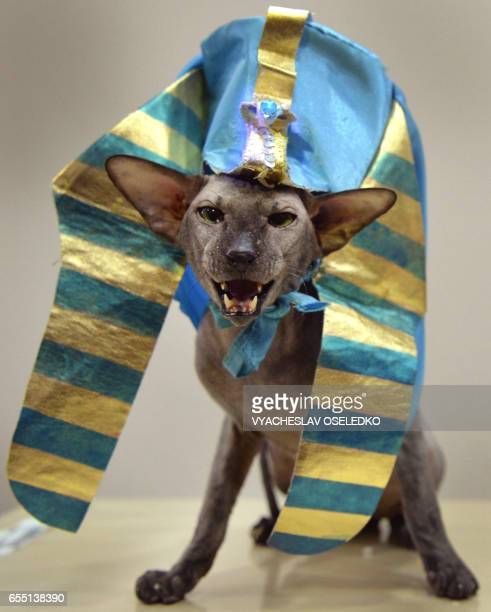 An Oriental Shorthair cat wearing a Sphinx costume is pictured during the International cat exhibition in Bishkek on March 19 2017 / AFP PHOTO /...