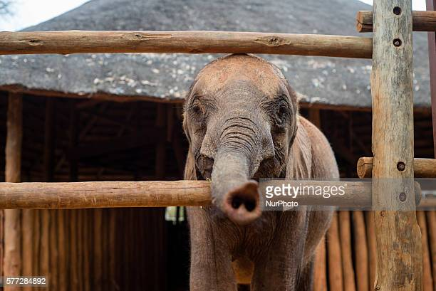 An orphan baby elephant from the Elephant Orphanage Project at the Lilayi Elephant Nursery in Lusaka Zambia on 18 July 2016 The Elephant Orphanage...