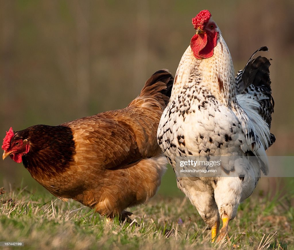an orpington hen and a delaware rooster stock photo getty images