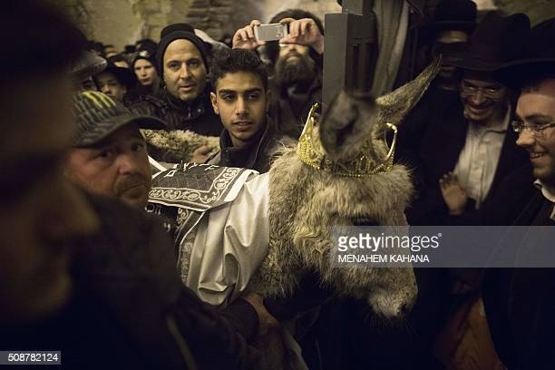 An Orthodox Jewish man carries the ritual baby male donkey during the 'Redemption of the First Born Donkey' or in Hebrew ' Petter Chamor ' ceremony...