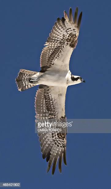 An Osprey also known as a sea hawk flies over its nest at dried ponds where the Exportadora de Sal company extracts salt in Guerrero Negro Baja...